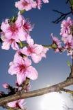Pfirsichblüten im Frühjahr Stockfotos