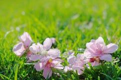 Pfirsichblüten im grünen Gras Lizenzfreie Stockfotografie