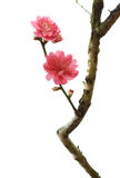 Pfirsichblütenblume Lizenzfreie Stockfotografie