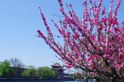 Pfirsichblütenblumen sind alle neben dem Burggraben offen Lizenzfreies Stockfoto