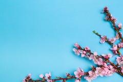 Pfirsichbl?te auf blauem Pastellhintergrund Fruchtblumen stockbilder