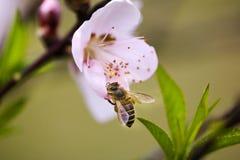 Pfirsichblüte und eine Biene Stockfoto