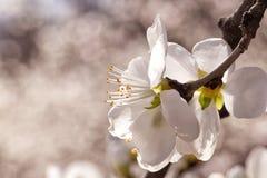 Pfirsichblütenöffnung mit glänzendem Rot Stockfoto