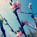 Pfirsichblume Stockbilder
