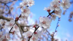 Pfirsichblume auf Baum in der Natur stock footage