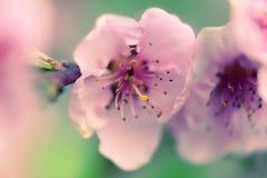 Pfirsich in der Blüte Stockfoto