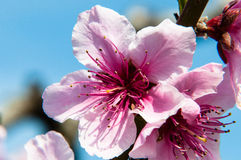 Pfirsichblume im Vordergrund Stockfotos