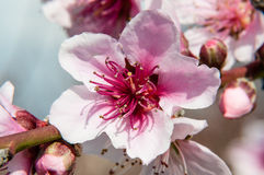 Pfirsichblume im Vordergrund Lizenzfreie Stockfotos