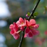 Pfirsichblumen Stockfotografie