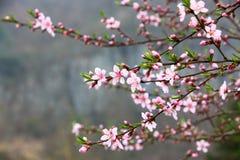 Pfirsichblumen Stockfoto