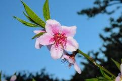 Pfirsichblumen auf Baum lizenzfreie stockfotos