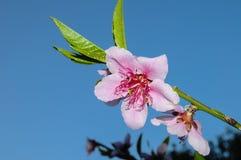 Pfirsichblumen auf Baum Stockfoto