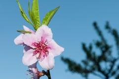 Pfirsichblumen auf Baum Lizenzfreie Stockfotografie