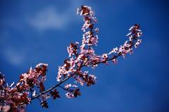 Pfirsichblumen auf einem Baum Stockfotos