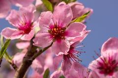 Pfirsichblumen auf einem Niederlassungsabschluß oben Stockfoto