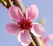 Pfirsichblumen auf einem Niederlassungsabschluß oben Lizenzfreies Stockfoto