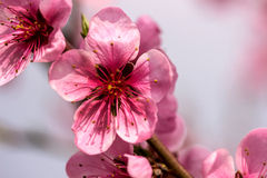 Pfirsichblumen auf einem Zweig stockbilder