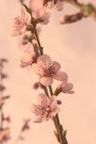 Pfirsichblumen auf rosa Hintergrund Lizenzfreies Stockbild