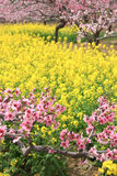 Pfirsichblumen und Rapsblumen Stockfotos