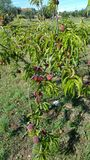 Pfirsiche auf Baum Lizenzfreies Stockbild