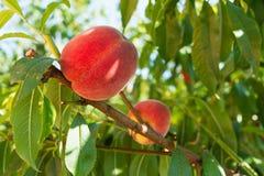 Pfirsiche auf Baum Lizenzfreie Stockbilder