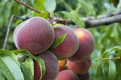 Pfirsiche auf dem Baum Stockfoto