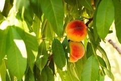 Pfirsiche auf einem Baum Lizenzfreie Stockbilder