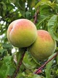 Pfirsiche auf einem Baum lizenzfreies stockfoto