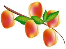 Pfirsiche auf einem Zweig Stockbild