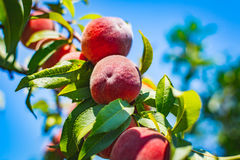 Pfirsiche auf Niederlassung Stockbilder