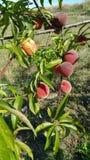 Pfirsiche auf Niederlassung des Baums Stockfoto