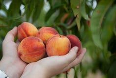 Pfirsiche in den Händen Lizenzfreies Stockfoto