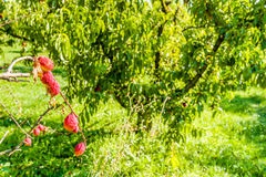 Pfirsiche, die auf der Niederlassung reifen Lizenzfreie Stockfotografie