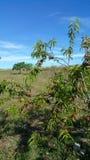 Pfirsiche, die auf kleinem Baum wachsen Stockfotos