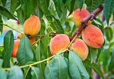 Pfirsichfruchtwachsen auf einem Pfirsichbaumast Stockbilder