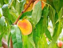 Pfirsichfruchtwachsen auf einem Pfirsichbaumast Stockfotos
