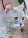 Pfirsichkatzenporträt Stockfoto
