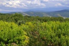 Pfirsichobstgärten Lizenzfreies Stockfoto