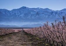 Pfirsichpflanzen Lizenzfreies Stockbild