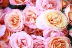 Pfirsichrosenblumen Stockfoto