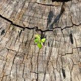 Pflänzchen, das auf Baumstumpf wächst. Stockfoto