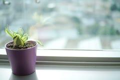 Pflänzchen im violetten Topf Stockbild