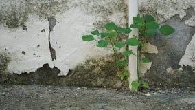 Pflänzchen und alte gebrochene Wand stockbild