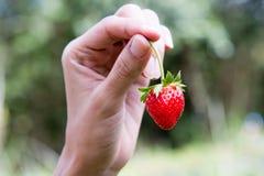 Pflücken Sie herauf Erdbeere mit der Hand Lizenzfreies Stockfoto