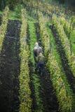 Pflügen eines Weinbergs Stockfotos