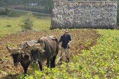 Pflügendes Feld des kubanischen Landwirts mit dem traditionellen Pflug gezogen durch Ochsen stockbilder