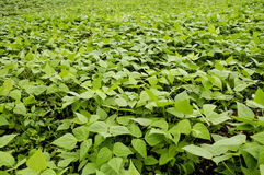 Pflanzen der Bohnen Lizenzfreies Stockfoto