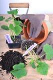 Pflanzen der Gurke Lizenzfreies Stockfoto