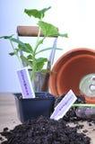 Pflanzen der Gurke Lizenzfreies Stockbild