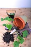 Pflanzen der Gurke Stockbild